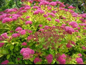 Tawuła japońska  Magic Carpet  Spiraea japonica  Magic Carpet