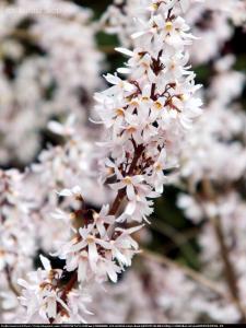 Abeliofylum koreańskie - Biała Forsycja... Abeliophyllum distichum