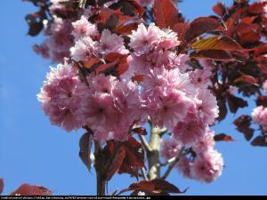 Wiśnia piłkowana Royal Burgundy Prunus serrulata Royal Burgundy