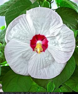 Hibiskus bagienny XXL Luna White Hibiscus moscheutos XXL Luna White...
