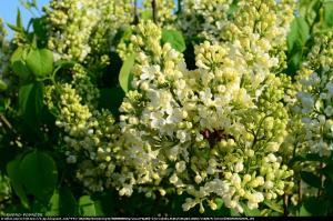 Lilak pospolity Primrose Syringa vulgaris Primrose