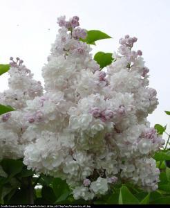 Lilak pospolity Krasavitsa Moskvy Syringa vulgaris Krasavitsa Moskvy...