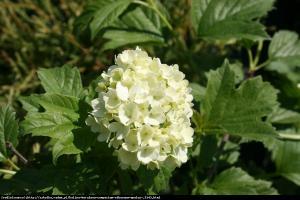 Kalina koralowa Compactum Viburnum opulus  Compactum