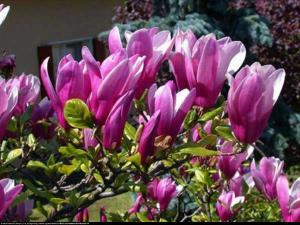 Magnolia Susan Duża Magnolia Susan