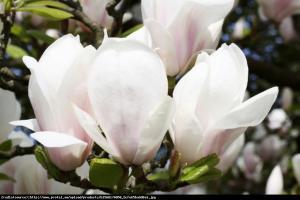 Magnolia Alba Superba Duża Magnolia Alba Superba