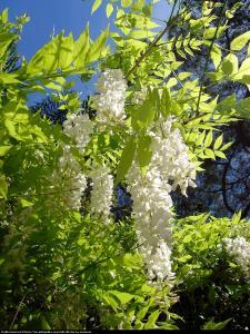 Glicynia chińska Biała Wisteria sinensis