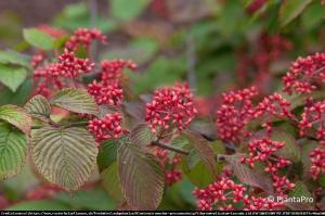 Kalina japońska Cascade Viburnum plicatum Cascade