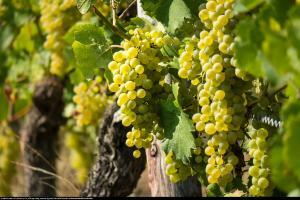 winorośl Bianka Vitis Bianca