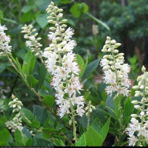 Orszelina Biała Clethra alnifolia