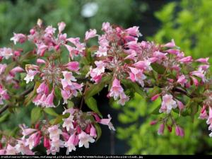 Kolkwicja chińska Maradco Kolkwitzia amabilis Maradco