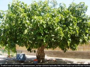 Figowiec Figa Brown Turkey Ficus carica Brown Turkey