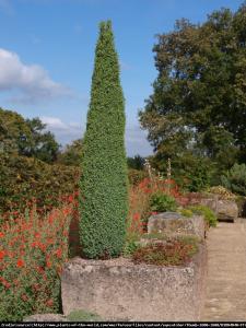 Jałowiec pospolity Hibernica Juniperus communis Hibernica