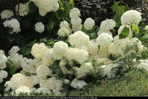Hortensja dębolistna Ice Cristal Hydrangea quercifolia Ice Cristal...