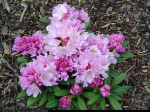 Różanecznik Nova Zembla Rhododendron Nova Zembla
