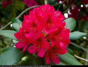 Różanecznik Dotella Rhododendron Dotella