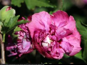 Hibiskus Ketmia syryjska Duc de Brabant... Hibiscus syriacus Duc de Brabant