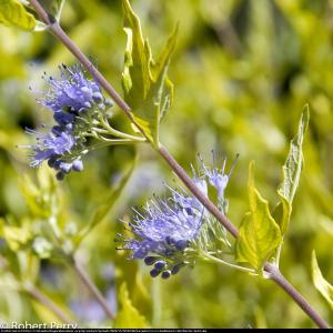 Barbula klandońska Worcester Gold Caryopteris clandonensis Worcester Gold...