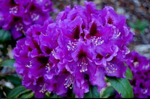Różanecznik  Rasputin  Rhododendron  Rasputin