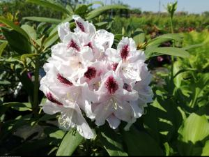 Różanecznik  Calsap  Rhododendron  Calsap