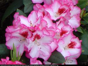 Różanecznik  Hachmann s Charmant ... Rhododendron  Hachmann s Charmant ...
