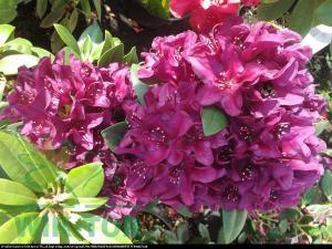 Różanecznik  Kali  Rhododendron  Kali