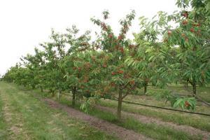 Wiśnia Oblaczyńska Prunus cerasus Oblaczyńska