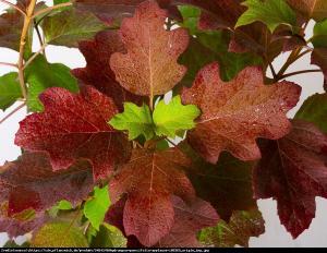 Hortensja dębolistna Applause Hydrangea quercifolia Applause