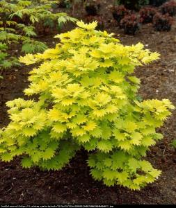 Klon japoński - Shirasawy Aureum Acer palmatum shirasawanum Aureum...