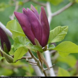Magnolia Black Beauty Magnolia Black Beauty