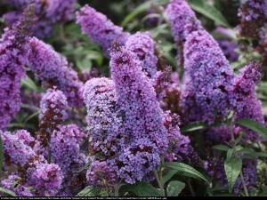 Budleja Buzz violet Buddleja Buzz violet