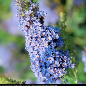 Budleja Buzz sky blue Buddleia Buzz sky blue