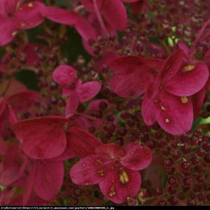 hortensja bukietowa Wims Red Hydrangea paniculata Wim's Red