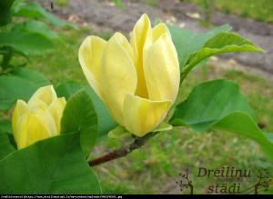 magnolia brooklińska  Yellow Bird ... Magnolia brooklynensis  Yellow Bird ...
