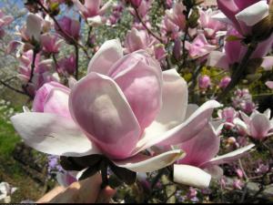 magnolia  Satisfaction  Magnolia soulangeana  Satisfaction ...