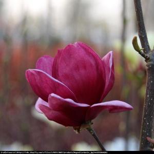magnolia  Genie  Magnolia soulangeana  Genie