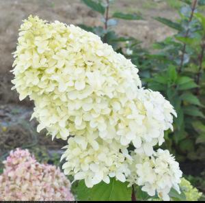 Hortensja bukietowa Diamantino Hydrangea paniculata Diamantino