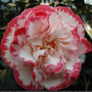 Kamelia japońska  Margaret Davis Camellia japonica  Margaret Davis...