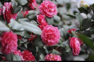 Kamelia Debbie Camellia williamsii  Debbie