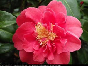 kamelia japońska  Blood of China  Camellia japonica  Blood of China ...