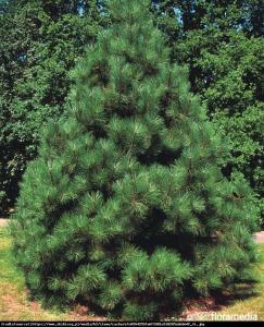sosna żółta Pinus ponderosa