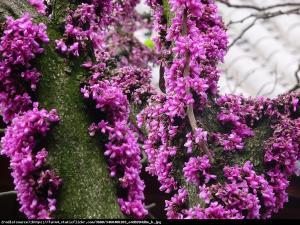 Judaszowiec chiński Avondale - KOLUMNOWY ... Cercis chinensis  Avondale