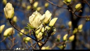 Magnolia  Elizabeth  Magnolia  Elizabeth