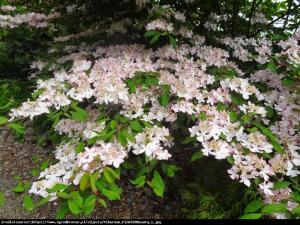 kalina japońska  Pink Beauty  Viburnum plicatum  Pink Beauty