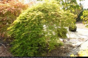 Acer palmatum  Emerald Lace  Klon palmowy  Emerald Lace
