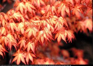 klon palmowy  Katsura  Acer palmatum  Katsura