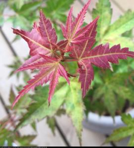 klon palmowy Phoenix Acer palmatum Phoenix