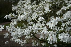 magnolia Loebnera Merrill  Magnolia x loebneri  Merrill