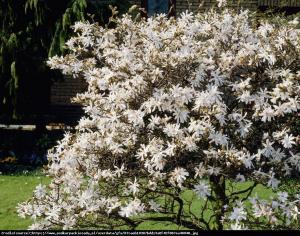 magnolia gwiaździsta  Royal Star  Magnolia stellata  Royal Star