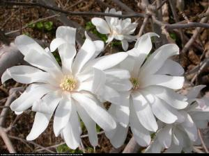 magnolia gwiaździsta  Royal Star  Magnolia stellata  Royal Star