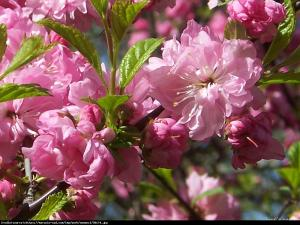 migdałek trójklapowy  Rosenmund  Prunus triloba  Rosenmund